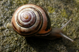 Brown-lipped Snail
