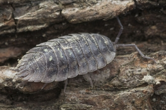 Common Woodlouse