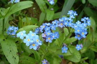 Wood Forget-me-not