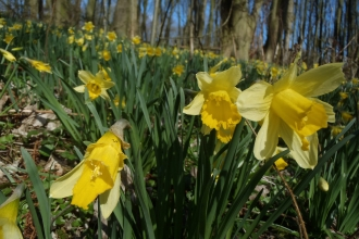 Wild Daffodils at George's Hayes