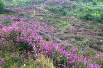 Gentleshaw Common - stunning lowland heathland in August