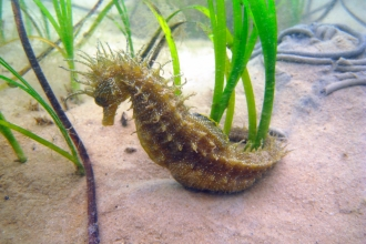 Spiny seahorse, the Wildlife Trusts