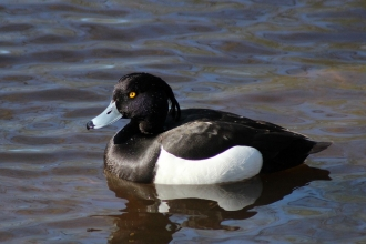 Tufted Duck - Westport Lake