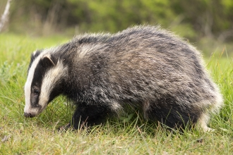 Badger - become a member and support them today!