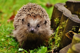 Hedgehog - donate and support your local wildlife