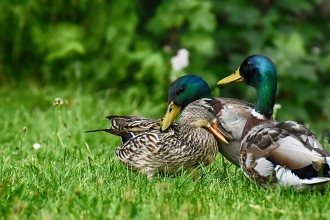 mallards on grass