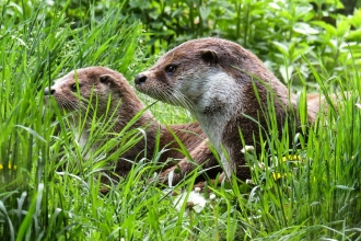 Otters sitting in grass