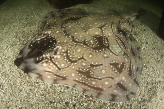 Undulate ray