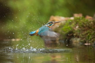 A kingfisher flying upwards out of water