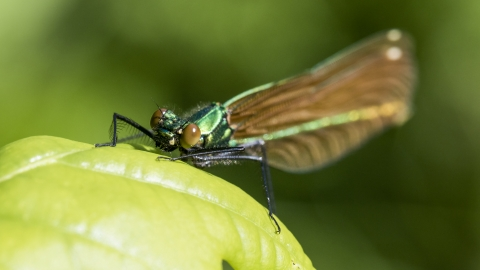 Beautiful Demoiselle female