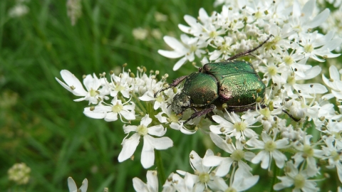 Noble chafer beetle