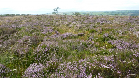 Ipstones Edge - stunning Heather