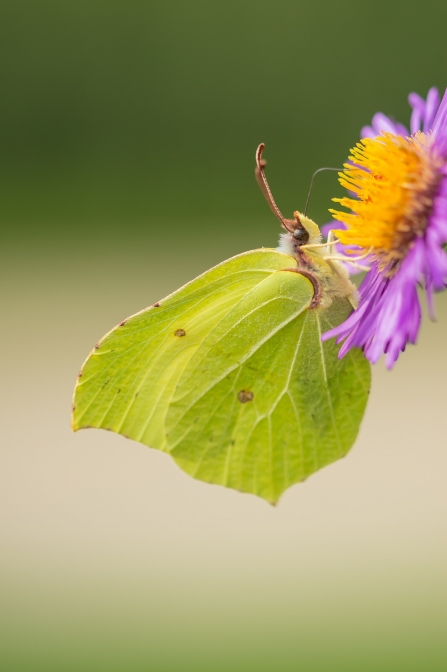 Brimstone Butterfly - at Lyton Moss
