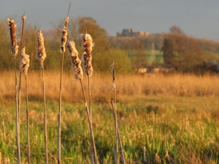 Doxey Marshes - reeds