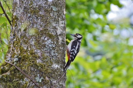 Hem Heath Woods - Great Spotted Woodpecker