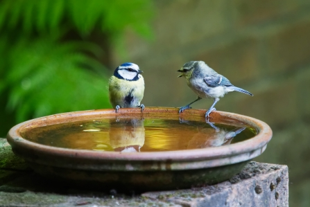 Birds in a bird bath