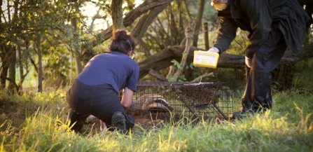 SWT carrying out a Badger vaccination