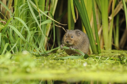 Water Vole - nature conservation