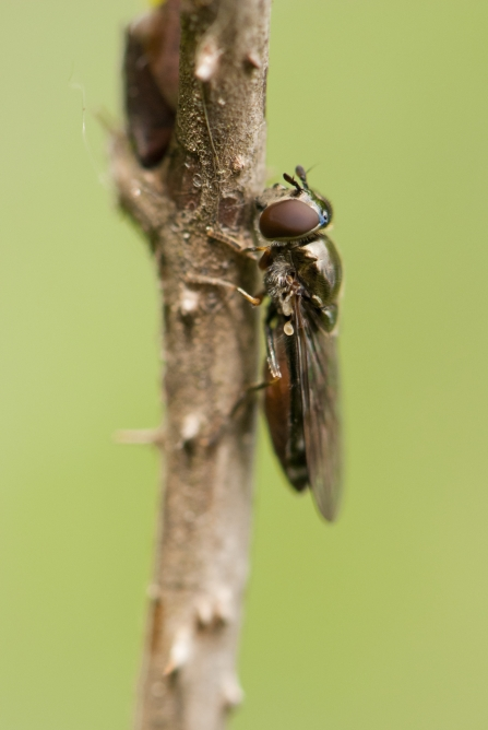 Logjammer hoverfly