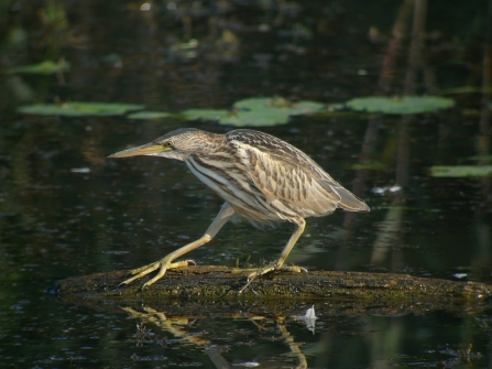 Young Bittern