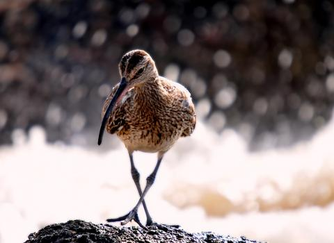 Curlew can be found at Black Brook