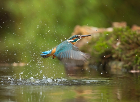 Kingfisher spotted
