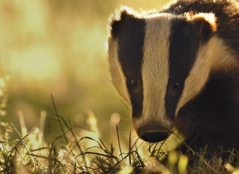 Badger - find out more about the cull