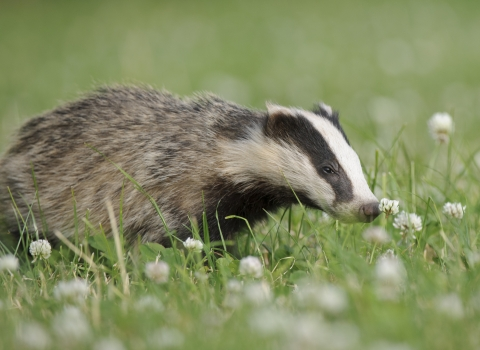 Badgers - donate to appeal