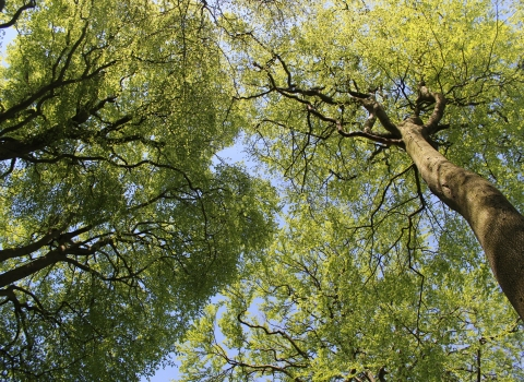 Looking up at green trees