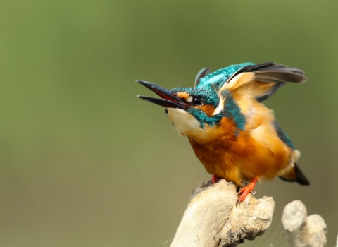 A kingfisher getting ready to fly, it is blue and orange with a long beak.